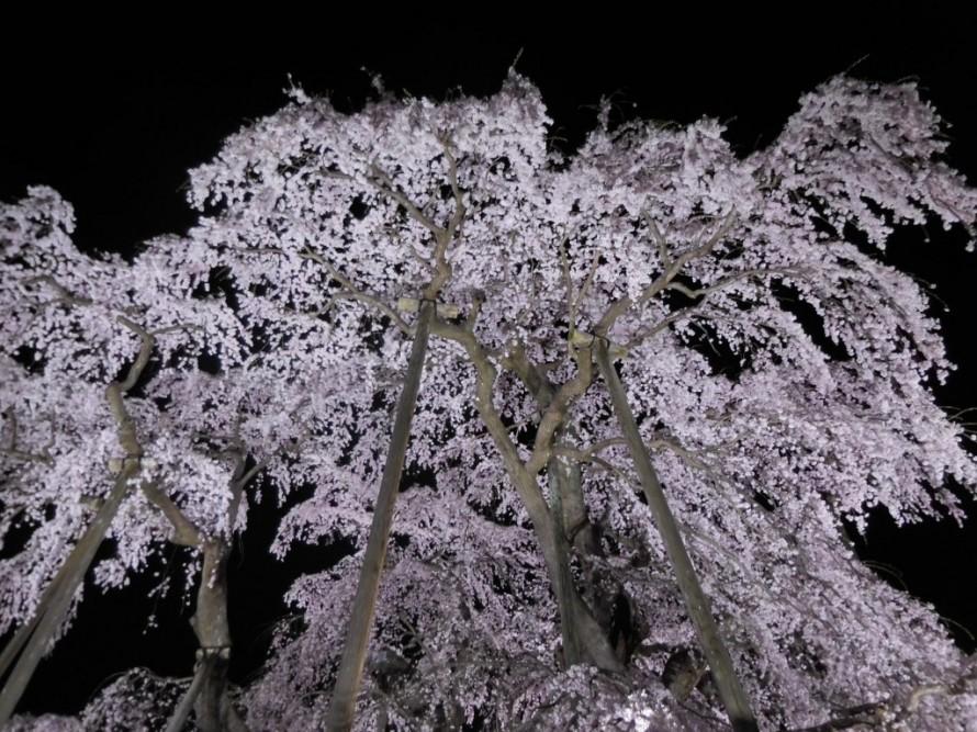 三春滝桜②