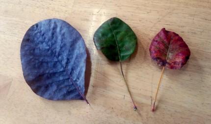 スモークツリーの落ち葉3色