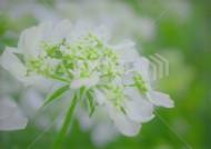 オルレア 花