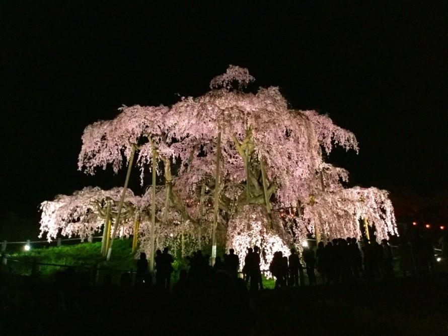 三春滝桜③