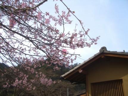 矢祭山の桜