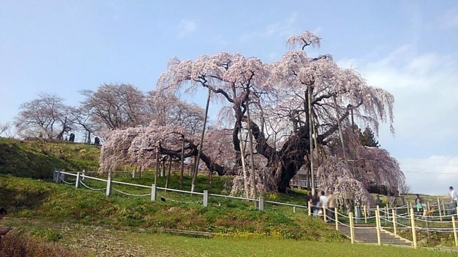 三春滝桜①