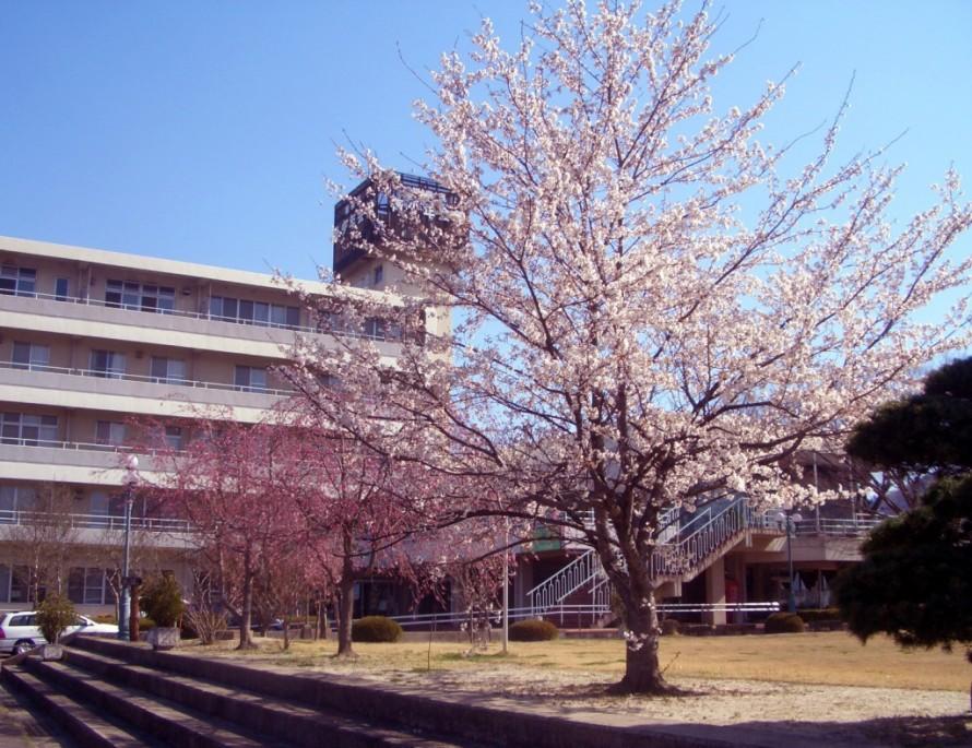 福島市 青少年会館の桜