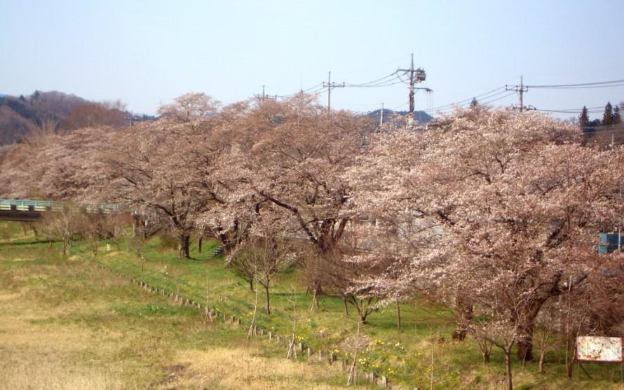 奥久慈大子の桜
