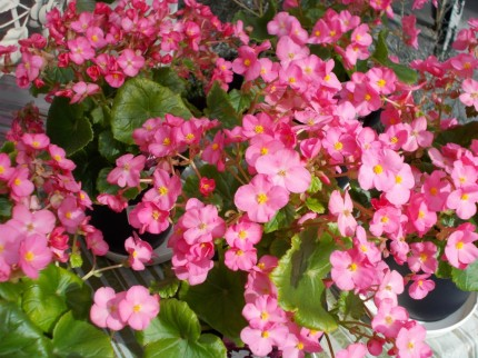 begonia-
