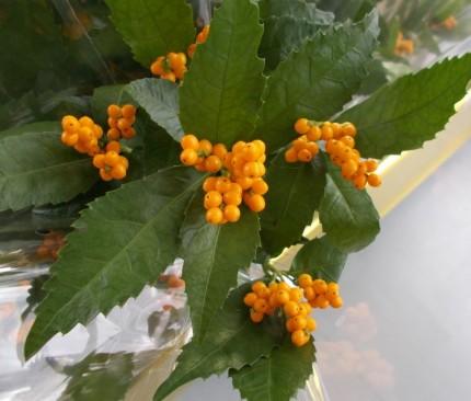 センリョウ 黄色い実
