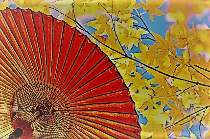 イロハモミジ 傘