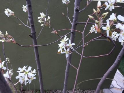 ジューンベリー花アップ