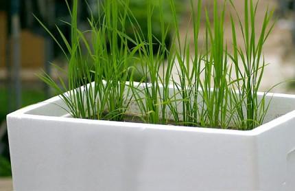 お米を育ててみよう!