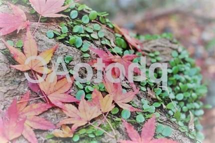イロハモミジ 落葉