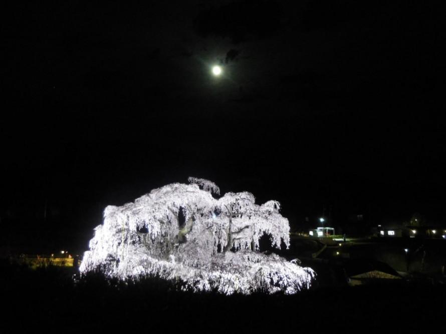 三春滝桜④