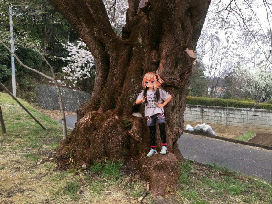 弥明の桜の幹回り