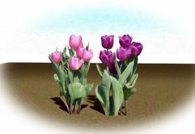 チューリップ 桃 紫
